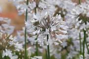 fleur agapanthe blanche