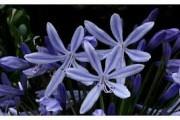 Fleur agapanthe bleue